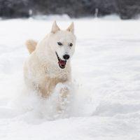 Снегът е моята стихия...Хъски в снега