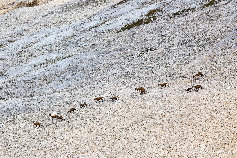 Стадо диви кози