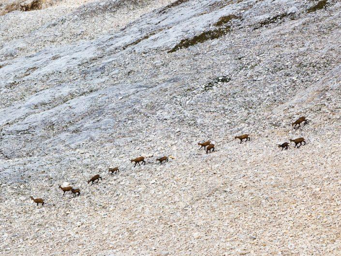 Стадо диви кози, Национален парк Пирин