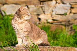 Cat sitting on a garden stone looking intently back over its shoulder as it watches something, profile view