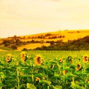 Вятър, слънце, слънчоглед
