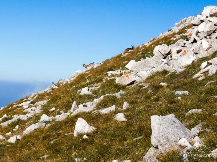 Изпълнени с ентусиазъм дивите кози се разхождат по пиринското било, Национален парк Пирин